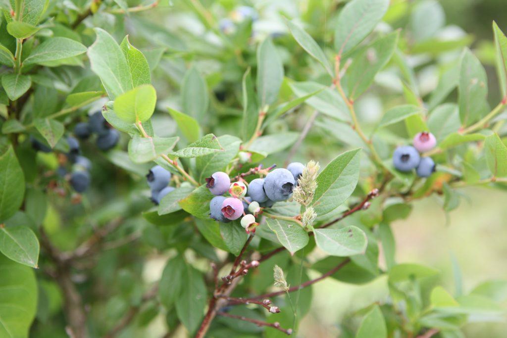 ブルーベリーの収穫が始まりました!